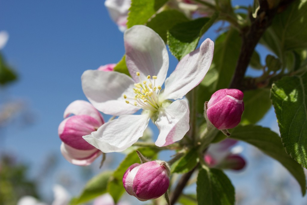 apple-blossom-1277009_1920